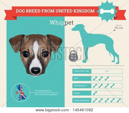Whippet dog breed vector infographics. This dog breed from United Kingdom