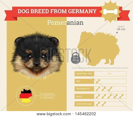Pomeranian dog breed vector infographics. This dog breed from German