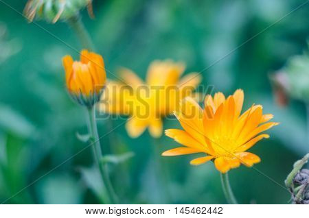 Orange calendula officinalis flowers medical blooming in the garden. Blurred summer background with growing marigold flowers. Flower of calendula on blossom.