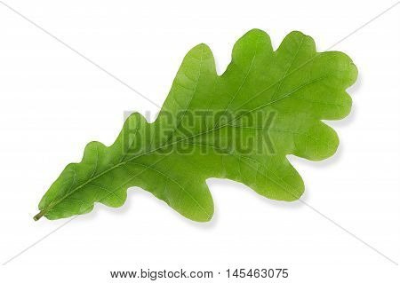 Green oak leaf isolated on white background