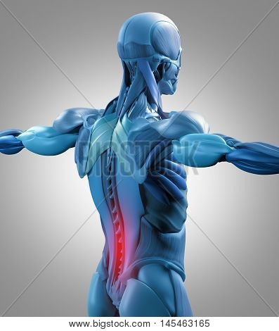 Human anatomy muscle groups, torso back, lower back pain. 3d illustration.