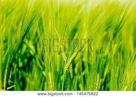 Spike in a rye field in Germany