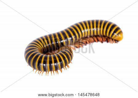 Wonderful Mexican millipede isolated on white background