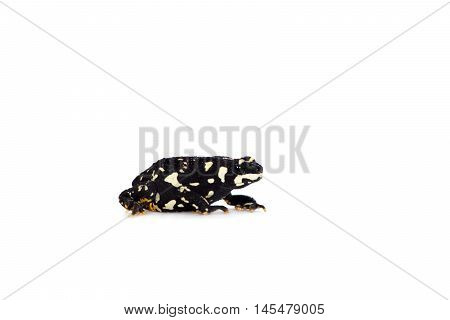 Klappenbachs red-bellied frog, Melanophryniscus klappenbachi, isolated on white background
