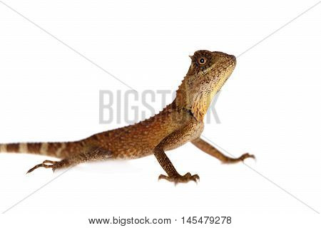 Acanthosaura nataliae lizard isolated on white background