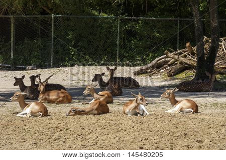 Fallow deers and chitals in the Munich zoo (Tierpark Hellabrunn)
