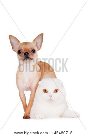 Scottish Fold cat with chihuahua dog isolated on white background