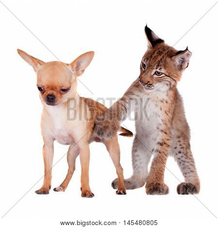 Eurasian Lynx cub playing with chiahuahua dog on white