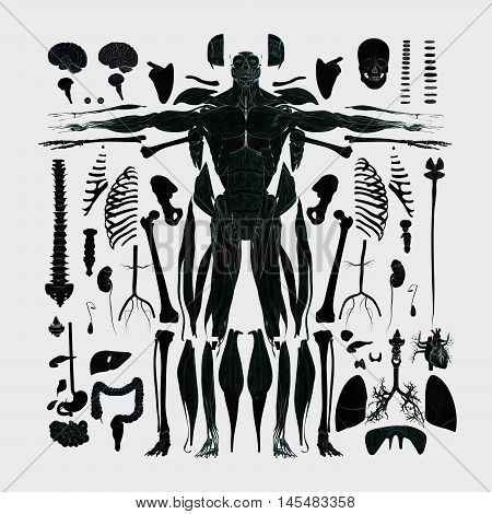 Human anatomy flat lay illustration of body parts, exploded view, deconstructed, dissected. 3d illustration