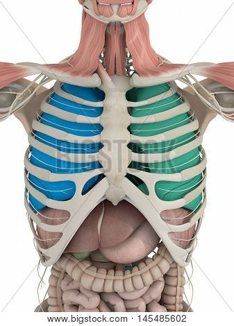 Anatomy color coded lungs inside rib cage. 3d illustration.