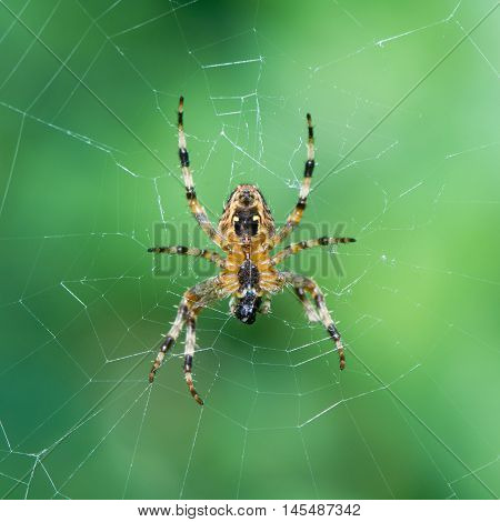Garden spider (Araneus diadematus) female on web. Underside of spider in the family Araneidae showing epigyne and captured prey being consumed