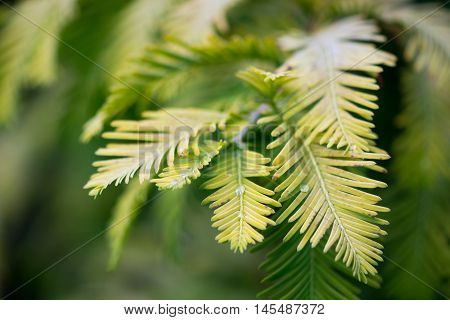 Gold rush tree (Metasequoia glyptostroboides) foliage. Yellow leaves of endangered coniferous tree native to China aka the dawn redwood in the family Cupressaceae
