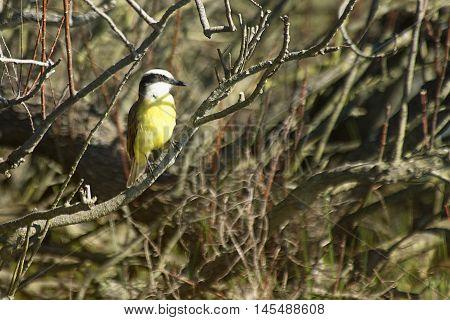 tyrant flycatcher bird perched on a branch