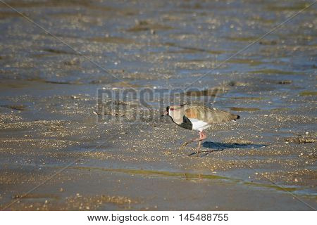 Southern lapwing on the sand in the lagoon