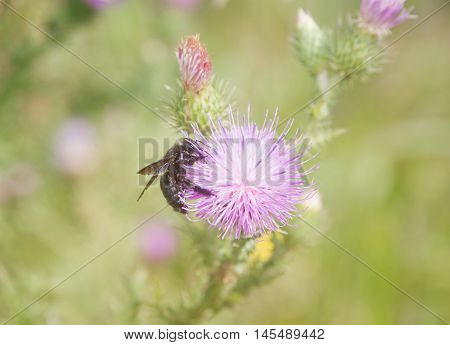 Hornet sucking nectar ftom a thistle flower