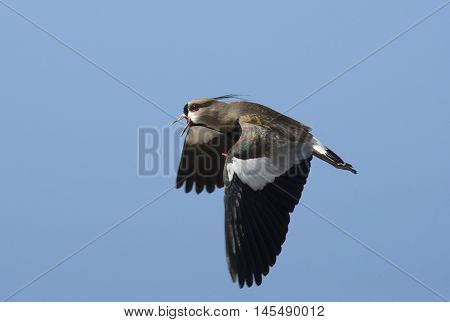 Lonely Southern lapwing flying in the sky