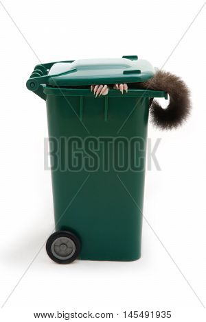 What kind of animal that show it's hands and tail in the garbage bin on white background.