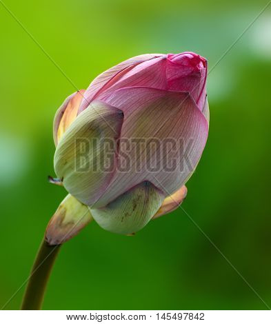 Pink flower bud of nelumbo nucifera, also known as the Indian or sacred lotus