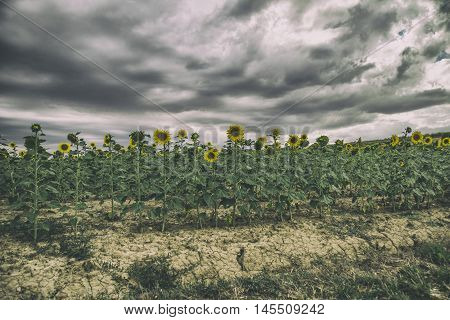 It is a photograph of a field of sunflowers on a summer afternoon with storm
