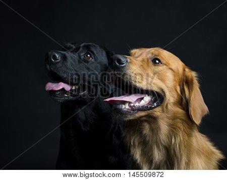 Golden Retriever and Labrador Retriever in the studio