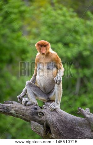 Proboscis Monkey (Nasalis larvatus) endemic  of Borneo.  Female sitting on the tree in forest