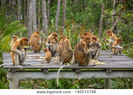 Group of Proboscis Monkeys (Nasalis larvatus) endemic of Borneo sitting on the feeding platform in Sarawak.