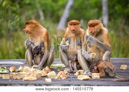 Group of female Proboscis Monkeys (Nasalis larvatus) endemic of Borneo sitting on the feeding platform in Sarawak.