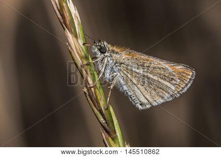 Large Skipper (ochlodes Sylvanus)