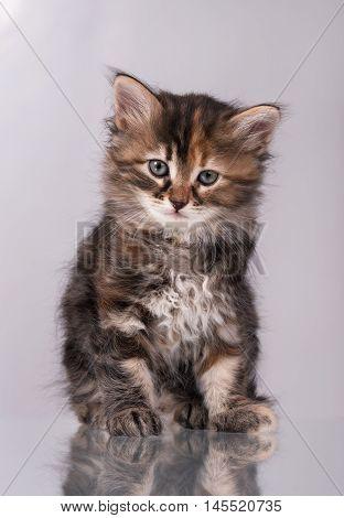 Cute fluffy siberian kitten over grey background