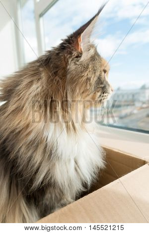 Blue tortie tabby with white Maine Coon cat with extremely long lynx tips on her large ears sitting in a cardboard board box is looking out of the window. She is a modern type of Maine Coon with the much loved feral wild look. From award winning blood lin