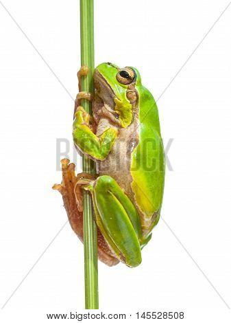 European Tree Frog Holding On To Stick