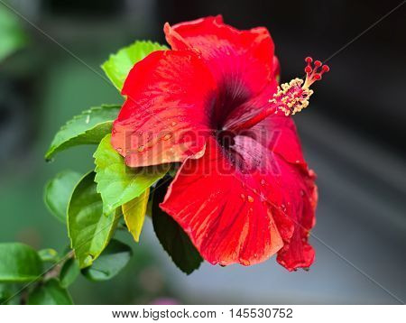 shoe flower, Chinese hibiscus, or Hibiscus rosa-sinensis