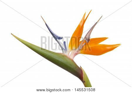 Strelitzia Reginae Isolated