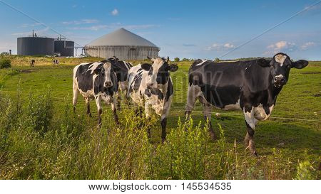 Biogas Plant With Cows On A Farm