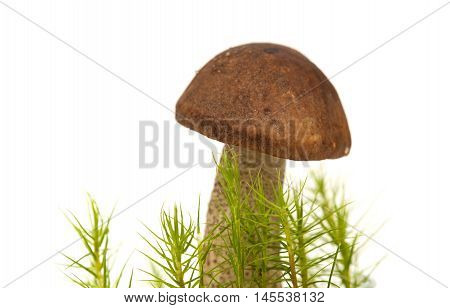 Birch Scaber Stalk Edible Mushroom