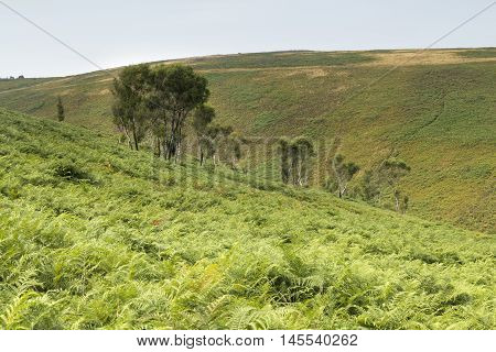 An image of a group of Silver Birch trees situated in the barren landscape of Dartmoor National Park Devon England UK.