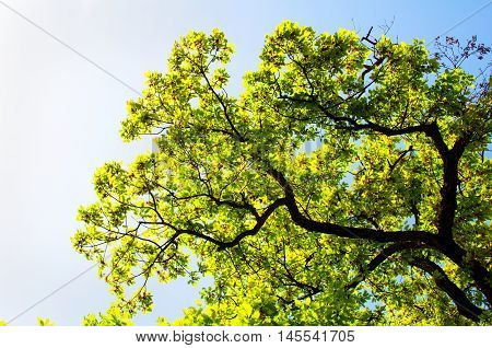 Landscape, Spring Oak Branches, Leaves and Blue Sky