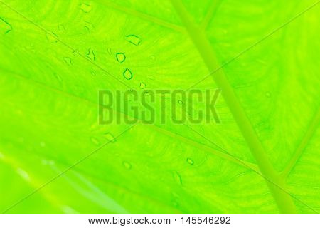 A Cocoyam leaf green nature texture background.