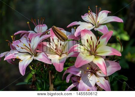 Zephyranthes flower. Common names for species in this genus include fairy lily, rainflower, zephyr lily, magic lily, Atamasco lily, and rain lily