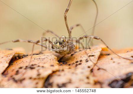 macro, closeup, animal, nature, opilione, spider, natural,