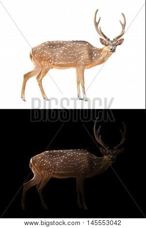 Axis Deer On Dark And White Background
