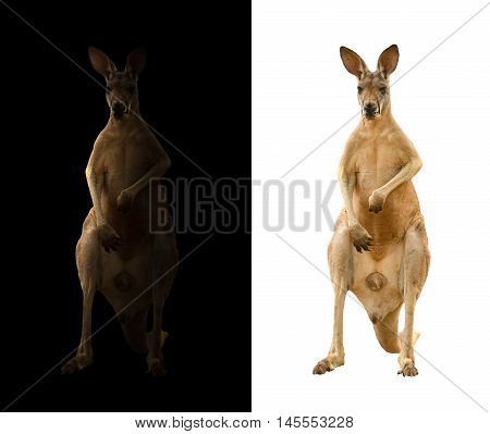 Kangaroo On Black And White Background