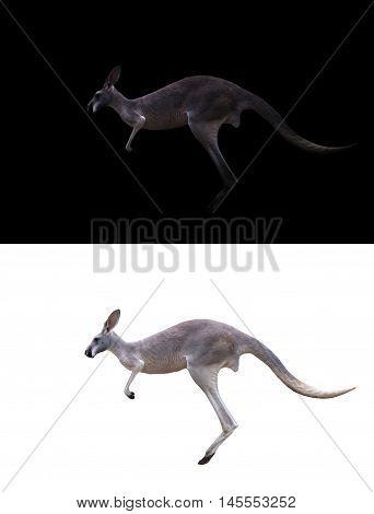 Kangaroo On Black And White Background