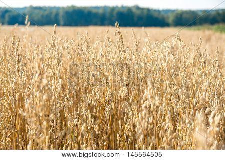 Ripe oats ears in the field. Oats growing in a summer field.