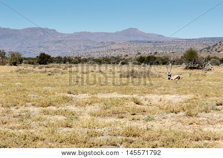 Gemsbok Oryx -  Mountain Zebra National Park