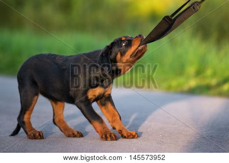 adorable rottweiler puppy pulling on a leash outdoors