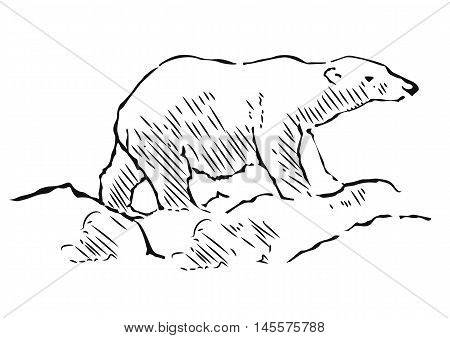 Polar bear hand drawn illustration. Walking polar bear, side view. Vector sketch.