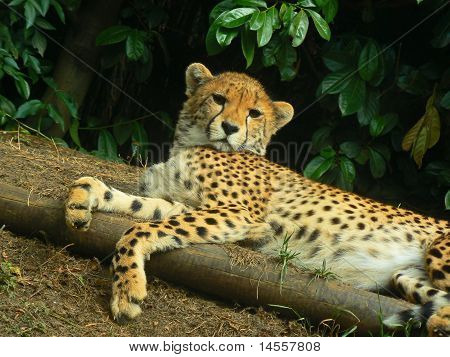 Cheetah Lying down.