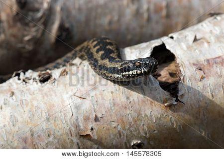 Common European Adder basking on Silver Birch logs