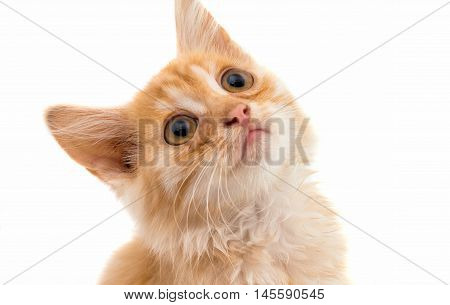 Kitten red cat  on a white background